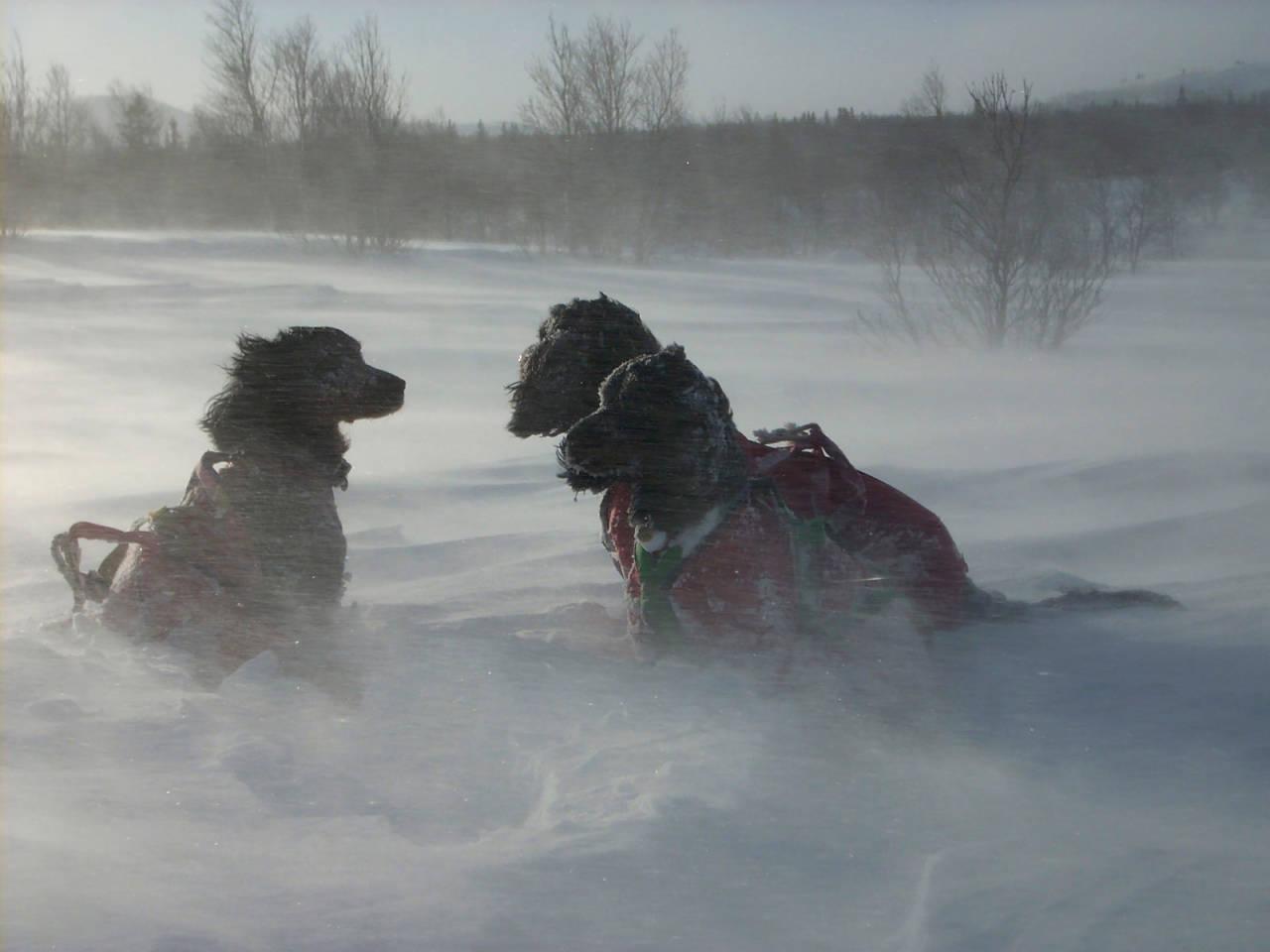 KALDT NOK: Selv om våre jakthunder generelt er robuste, kan vind og kulde raskt virke nedkjølende når hunden ikke lenger er i full aktivitet.