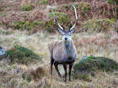 Jaktreiser, Skottland, hjortejakt