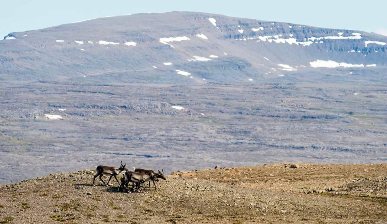 NORSKE UTVANDRERE: Villreinen som finnes på østre deler av høylandet kom til Island fra Norge for omtrent 250 år siden. Jeg fikk være med som «flue på sekken» da to islandske kompiser skulle jakte villrein for første gang. Det var lettere enn jeg trodde å finne reinen i dette enorme området.