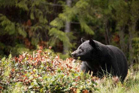 Bamsemums: Svartbjørn på Vancouver Island kan veie opp mot 275 kilo, noe som er en ganske røslig bamse hvis den kommer tett på.