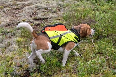 Sitter godt: Sjøl om Large blir i største laget for en beagle-hann, sitter vesten veldig fint og tight.