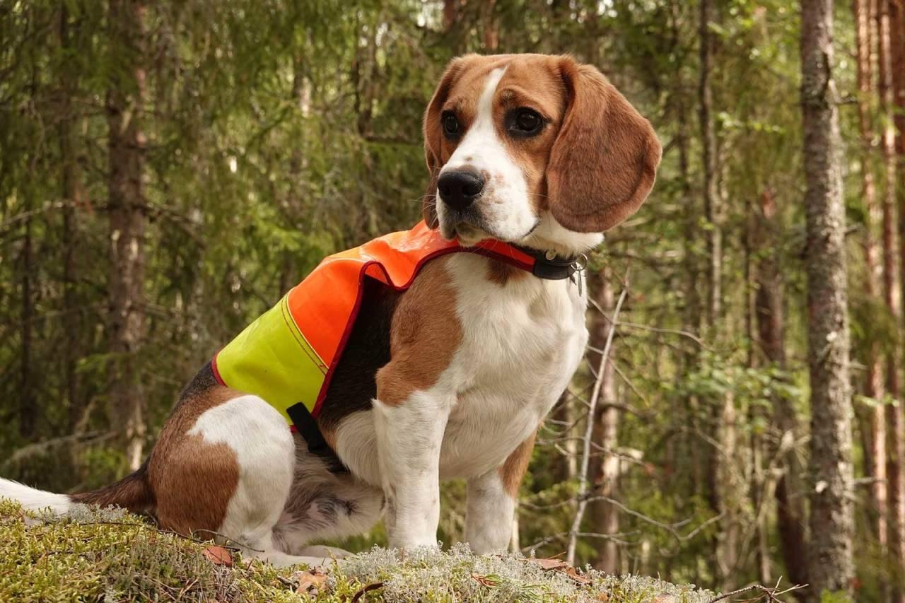 Godt synlig: Signalfargene gjør det lett å se hunden i terrenget.