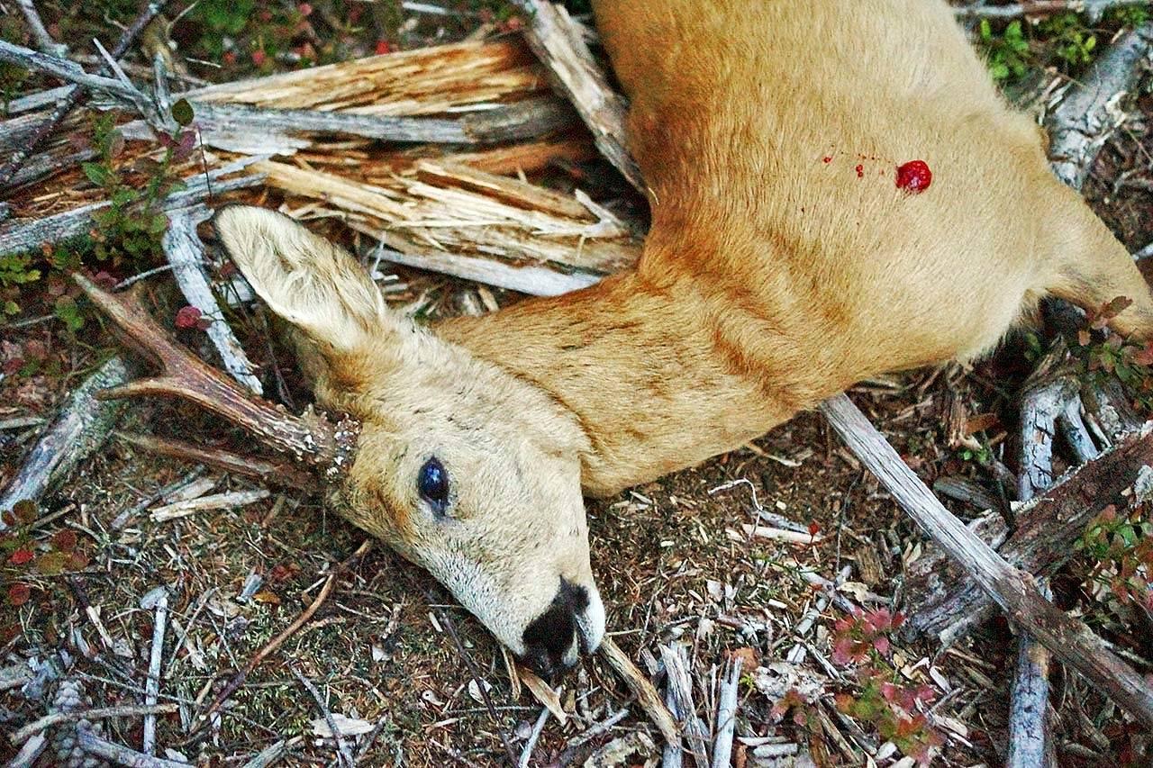 Rifler til jakt på rådyrbukk. Skutt bukk av rådyr.