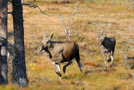 Post, oppførsel på jakt, elgjakt