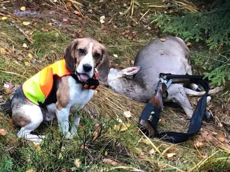 leserinnlegg beagle rådyrjakt