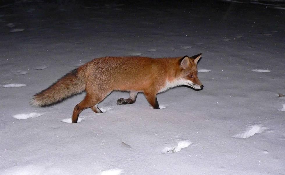 Revejakt, jakt på rødrev