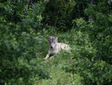ulv jerv bjørn gaupe jakt store rovdyr norge 2020 2021