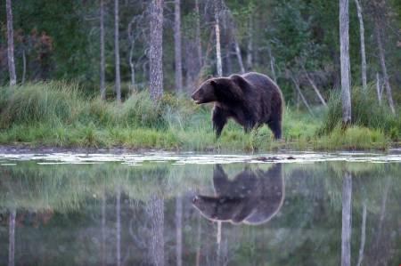 Lisensfelling bjørn