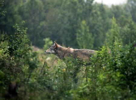 ulv, utvidet felling