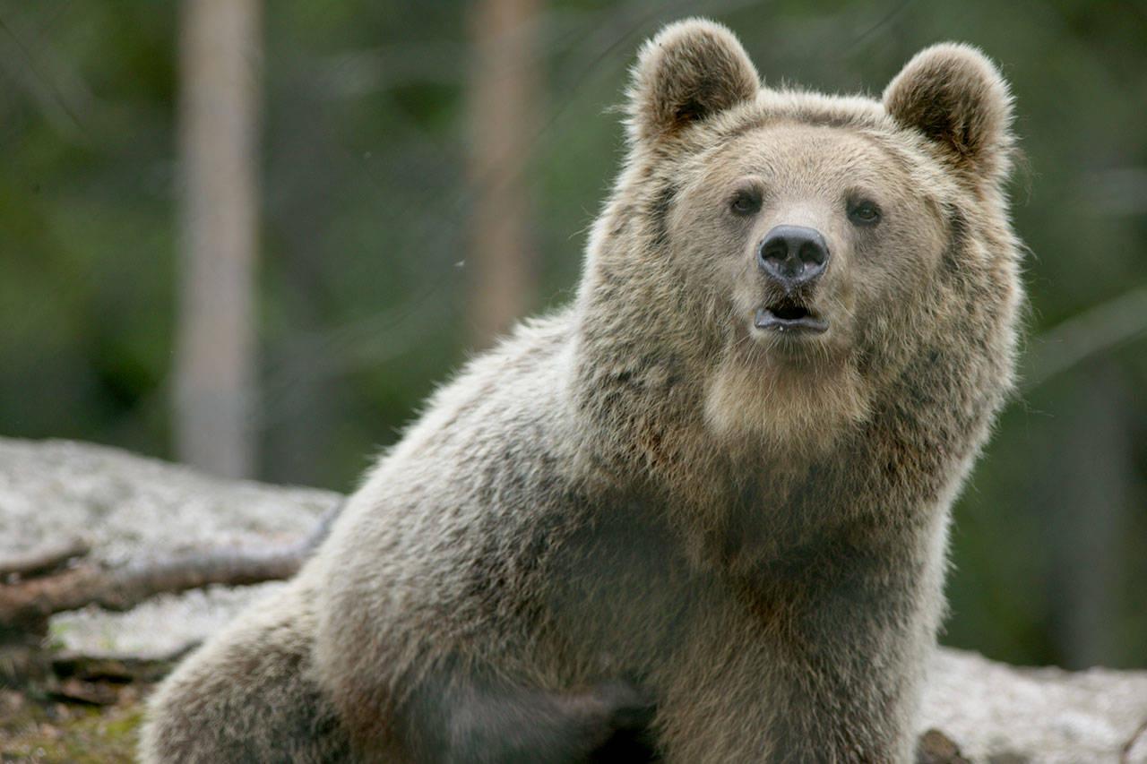 bjørn brunbjørn foto åsgeir størdal