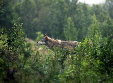Ulvebestanden, bestandsmål, ulvejakt