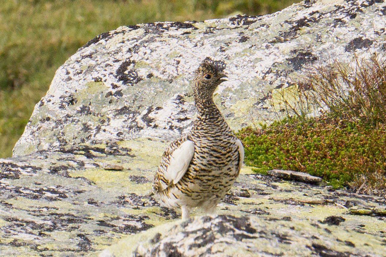 rypejakt 2021 rype jakt rypehøst fjellstyre rypejeger Foto Åsgeir Størdal