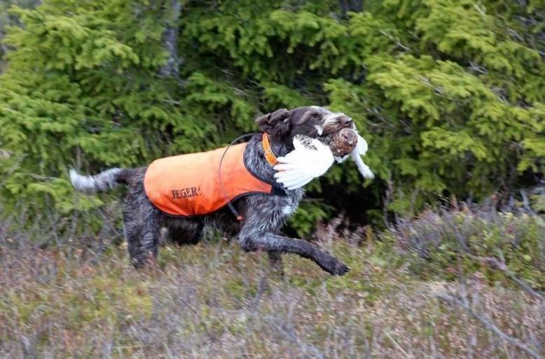 rypejakt, fuglehund, høstrype, rype