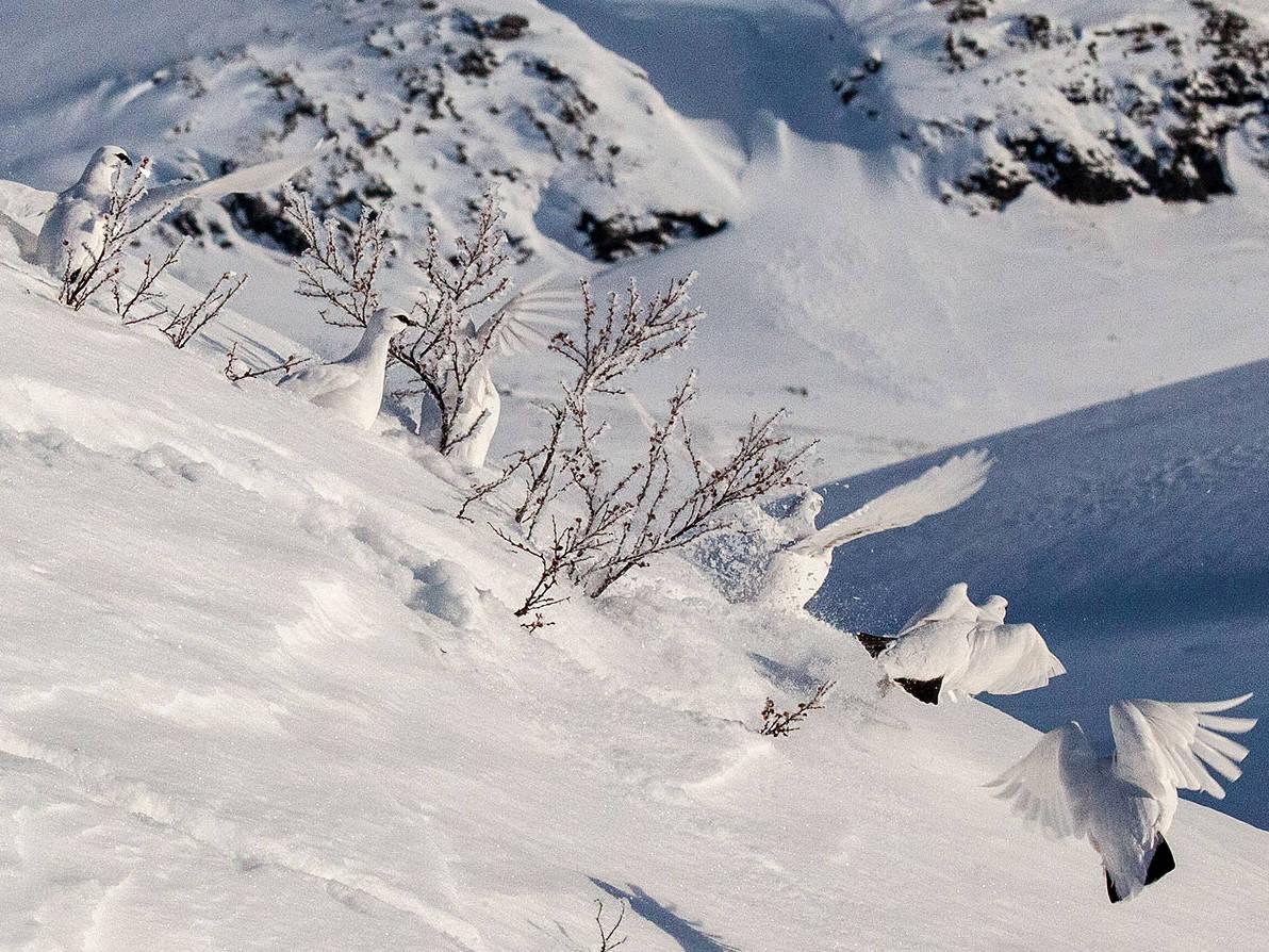 Bilde av ryper på fjellet på vinteren. Foto: Åsgeir Størdal