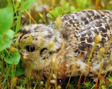Trang start: Skogsfugl- og rypekyllinger fikk en mager start på livet i år, med kuldeperioden akkurat etter klekkinga.