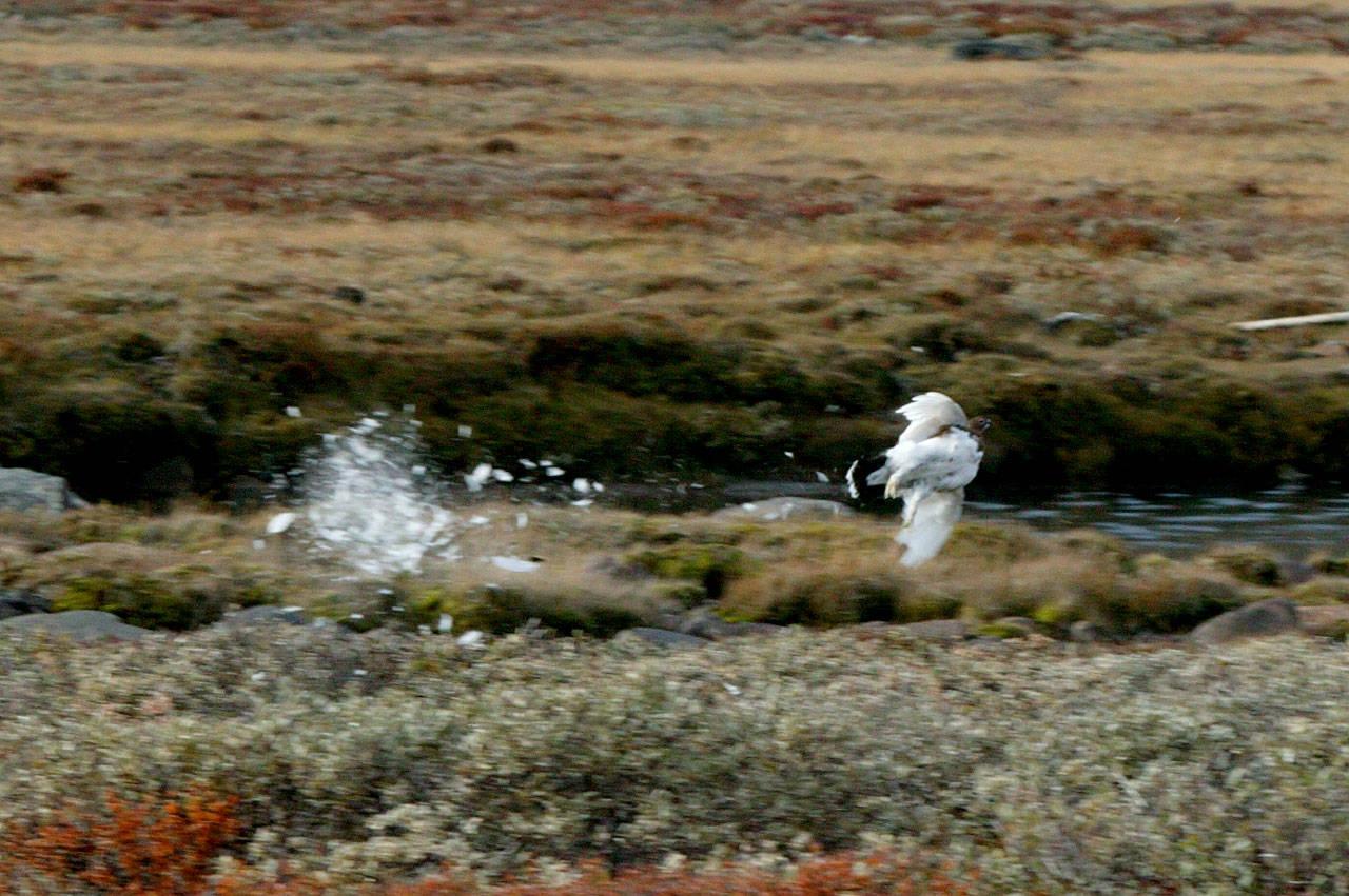 Nå har også Statskog lagt fram resultat fra rypetaksering høsten 2020. (Foto: Åsgeir Størdal)