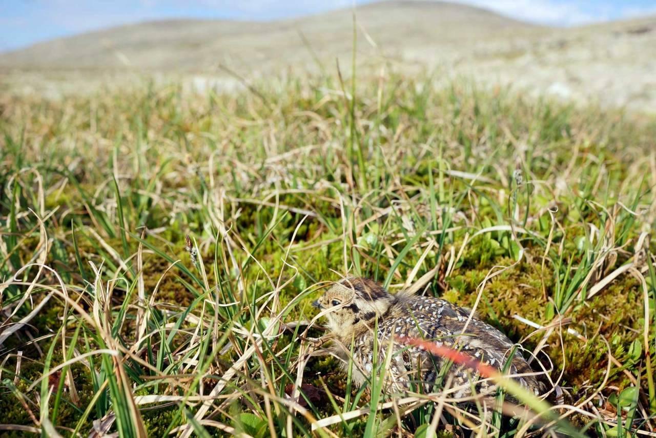 SEIN SOMMER: Sommeren kom seint i høyfjellet, noe som ser ut til å gi mye små kyllinger. (Ill.foto: Åsgeir Størdal)