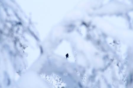 Iskjul: Jakter du tiur i toppene, må du bruke kamuflasje og ly av skogen for å snike deg innpå.