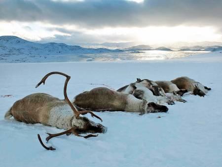 Skrantesyke, Hardangervidda, villrein