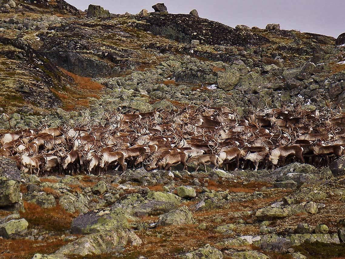 Villreinjakt skrantesyke Hardangervidda