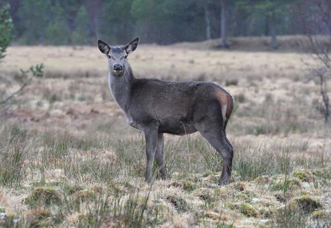 norsk hjort etne