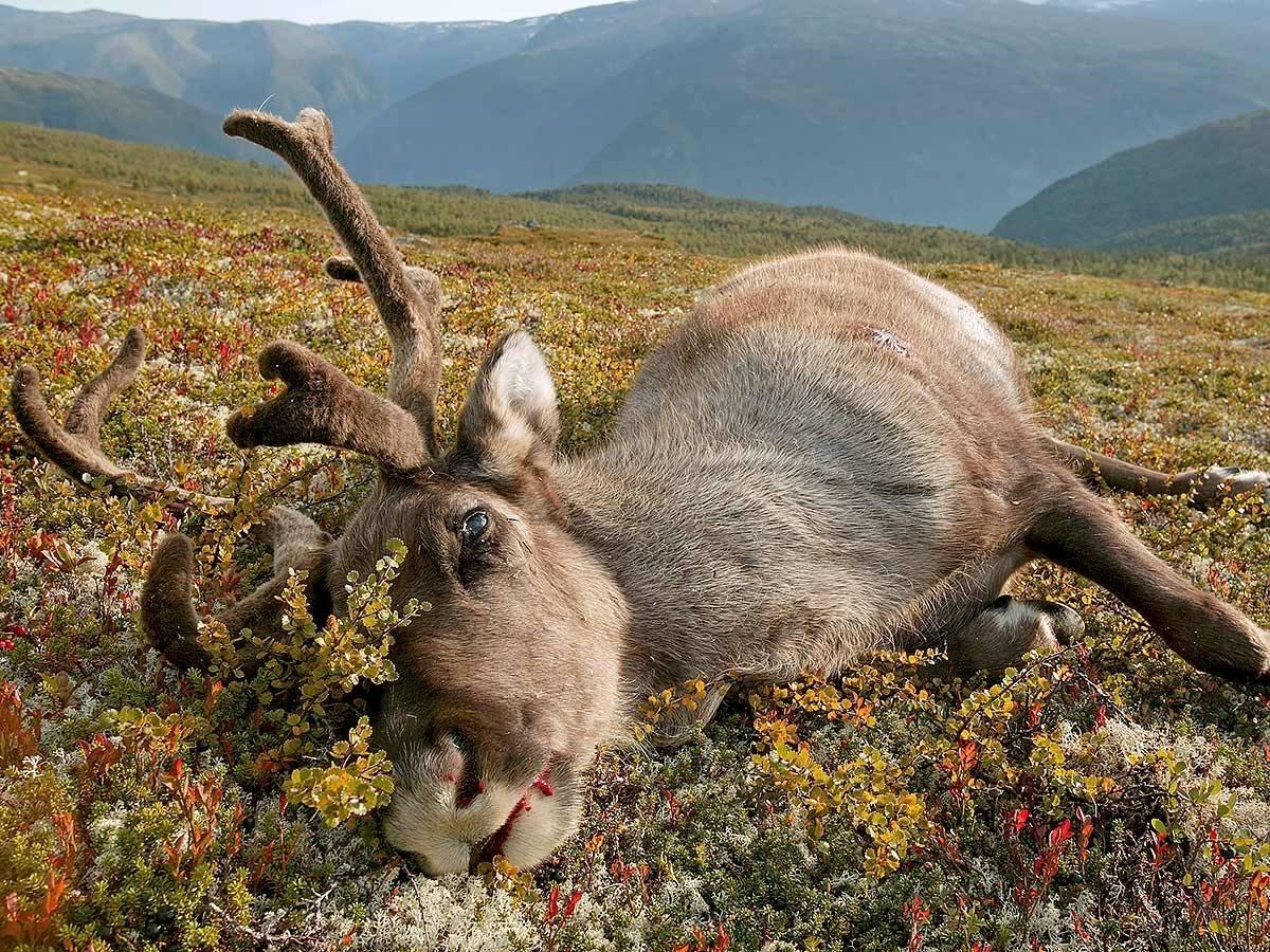 Villrein skrantesyke Hardangervidda