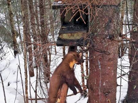 smårovvilt, jakt på mink, mår, mårhund, grevling, kråke og røyskatt