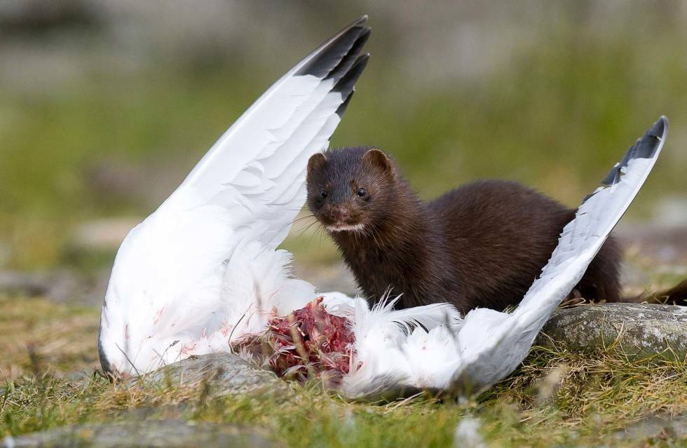Glupsk: Minken er en glupsk predator, og tar både egg, unger og voksne sjøfugl. Foto: Terje Kolaas