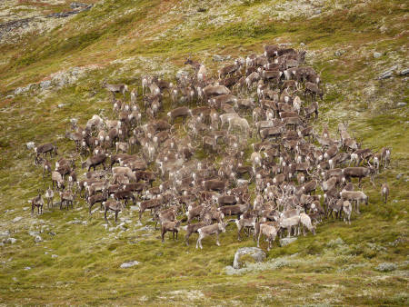 Villreinjakt krevende jakt på fjellet