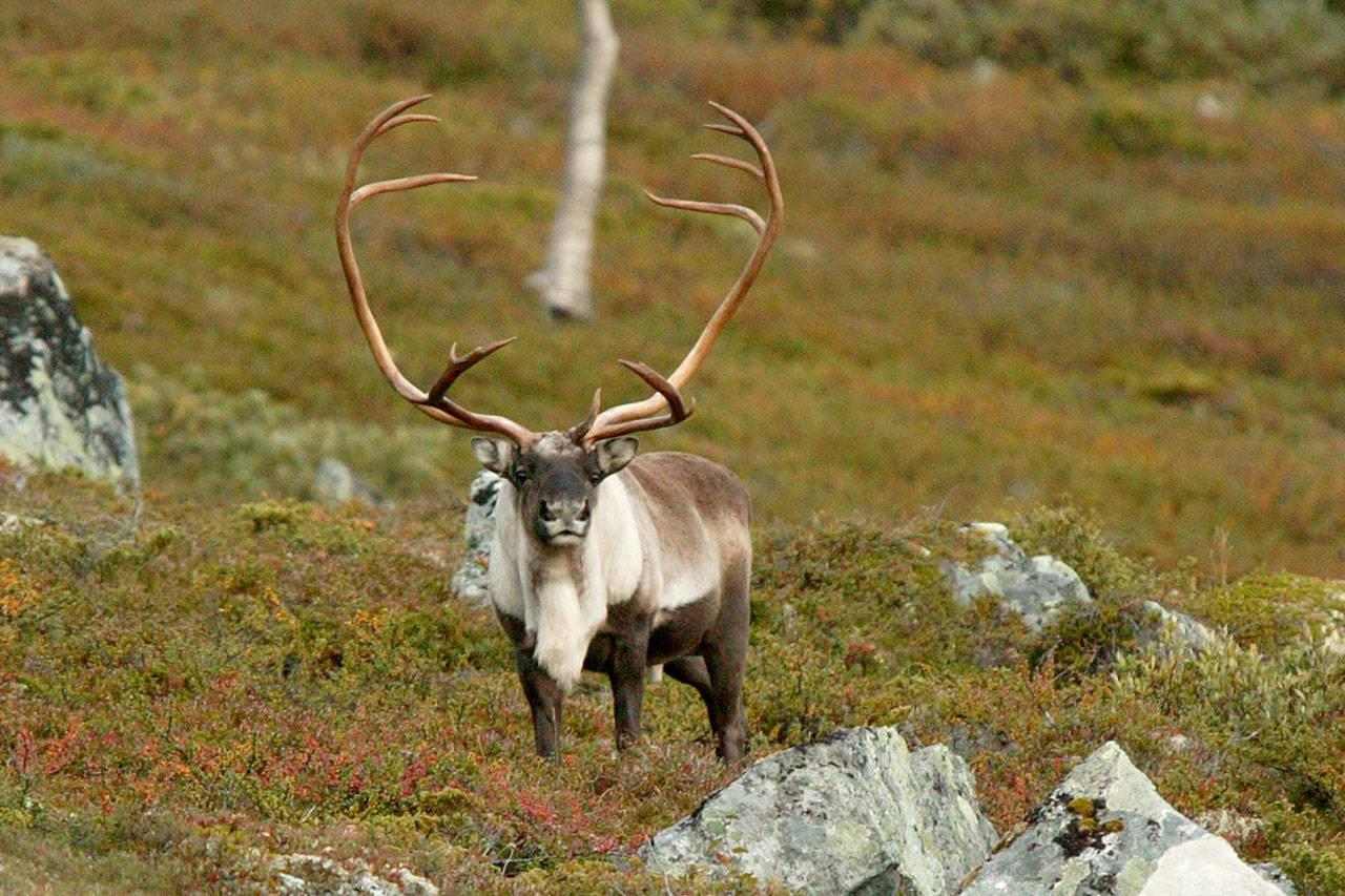 villrein reinsbukk reinsdyr foto Åsgeir Størdal