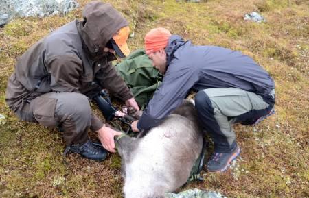 Skrantesjuke blir påvist ved at jegerne sender inn prøver av hjortedyret. Foto: Sandra L. Wangberg