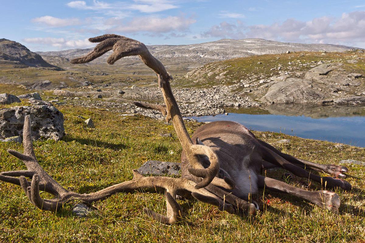 Villrein reinsbukk felt jakt foto: Åsgeir Størdal