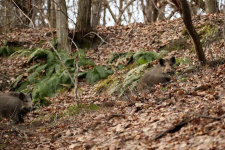 villsvin jakt villsvinjakt sverige foto åsgeir størdal